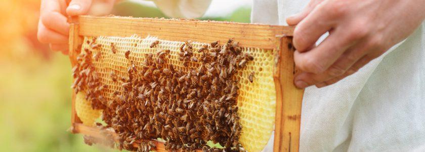 Colmenas, abejas y miel: Conoce más sobre el desarrollo de la apicultura en Chile
